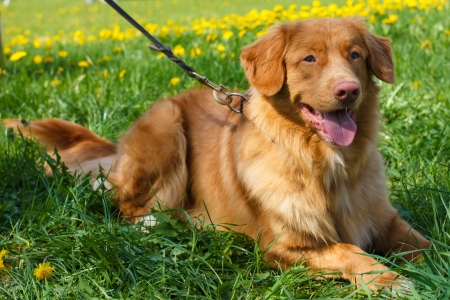smiling red gun dog breed Nova Scotia Duck Tolling Retriever (Toller)  lying on a green lawn blooming Stock Photo - 19810832