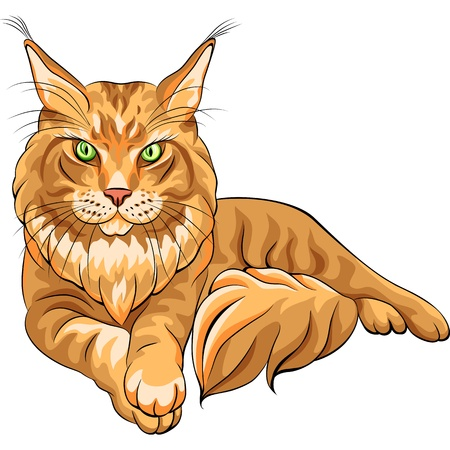 lince rojo: Vector de color boceto seria esponjoso Maine Coon gato americano de pelo largo rojo se extiende Vectores