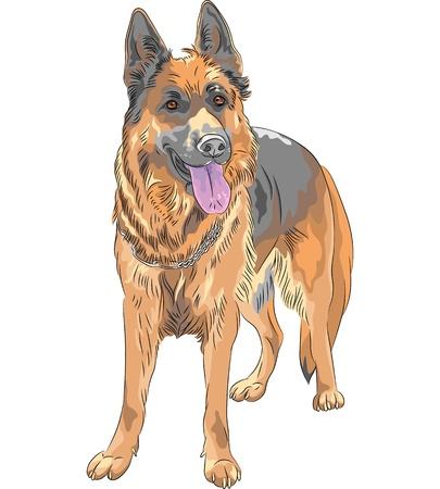 perro policia: Retrato del vector de un perro pastor alemán de raza sonríe con su lengua fuera