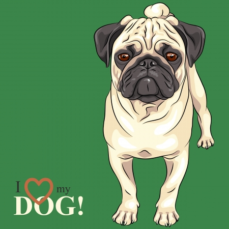 pug dog: Vector color sketch of the dog serious  fawn pug breed