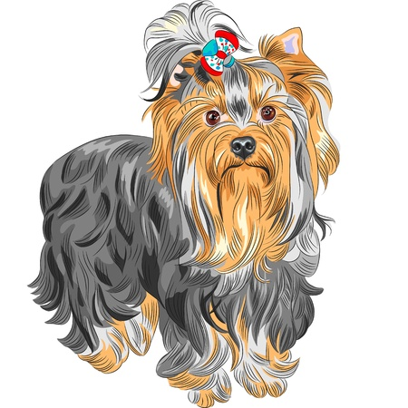 color sketch serious Yorkshire terrier red and black with bow Vector