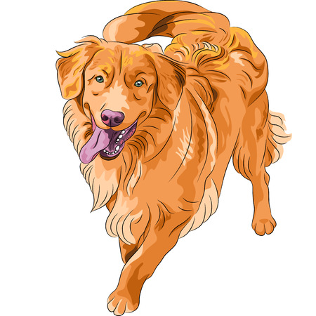 smiling staying red gun hilarious funny dog breed Nova Scotia Duck Tolling Retriever (Toller) Vector
