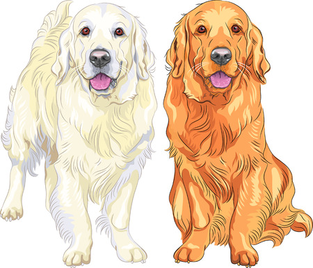 guide dog: smiling pale and red gun dog breed Golden Retriever sitting and staying Illustration