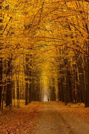 yellow trees: Linden alley overcast autumn day, the vertical frame format Stock Photo
