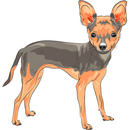 chihuahua dog: vector color sketch of the cute dog Chihuahua breed smiling