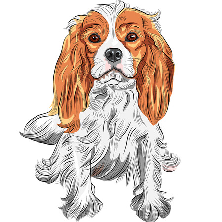 vector Cute serious dog Cavalier King Charles Spaniel breed