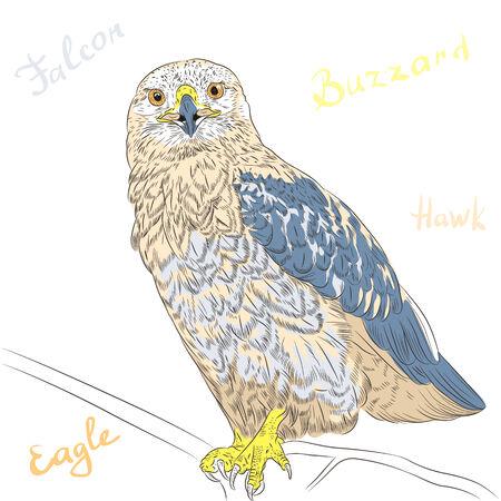 buzzard: Vector sketch funny cartoon colorful bird Rough-legged Buzzard