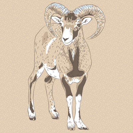 vector sketch closeup portrait of funny Alpine ibex Illustration