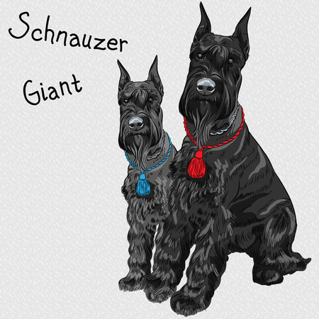 pair of dogs breed Giant Schnauzer color black  Ilustrace