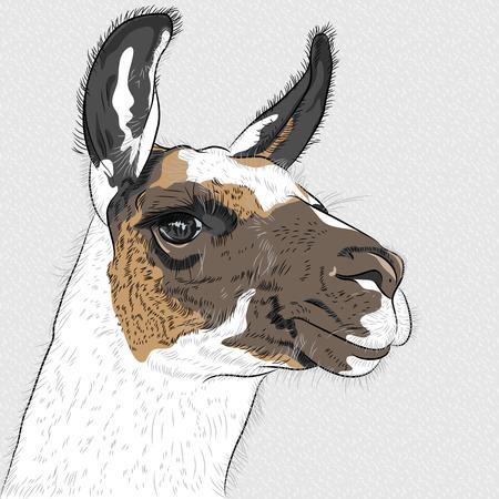 llama: vettore schizzo di Alpaca sorridente Vettoriali