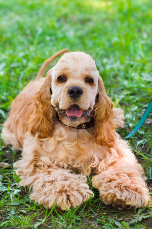 pawl: close-up portrait of a  cute sporting  dog breed American Cocker Spaniel smiling Stock Photo