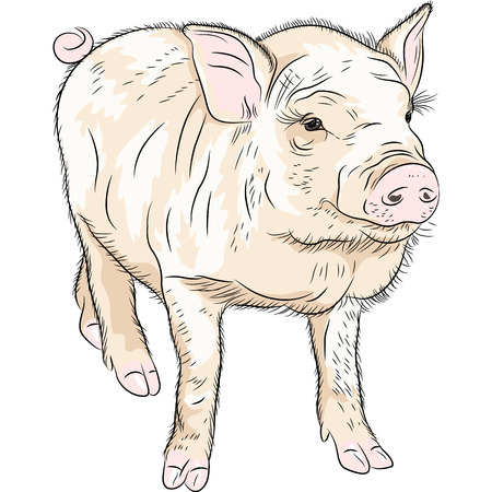potbellied: sketch closeup portrait of funny Pot-bellied pig