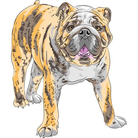wrinkled face: COLOR sketch of the dog English Bulldog breed  Illustration