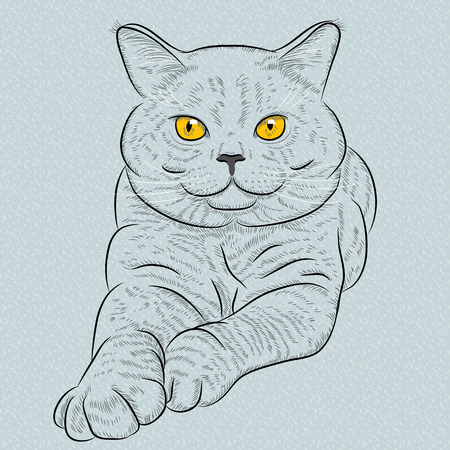 british shorthair: British Shorthair blue cat with yellow eyes lies and looks