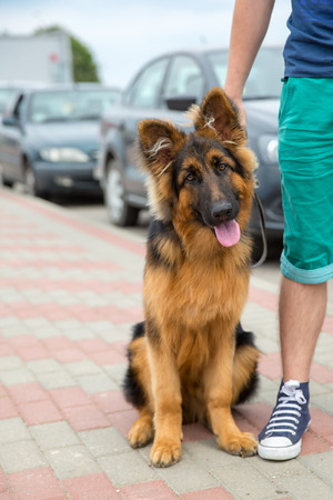shepherd's companion: Domestic dog German Shepherd breed on leash  Focus on the dog muzzle, shallow depth of field