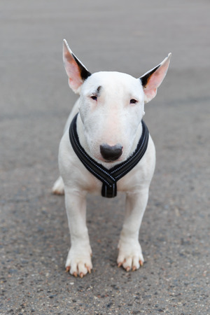 Domestic dog Miniature Bull Terrier breed  Focus on the dog muzzle, shallow depth of field  Stock Photo