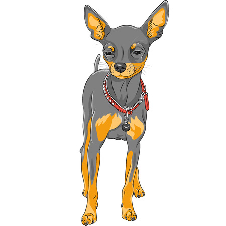 companions: Vector color sketch of the cute serious dog Chihuahua breed Illustration