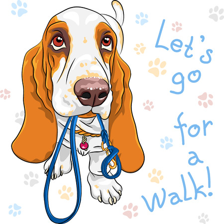 dog walking: Tan and White dog Basset Hound breed wants to walk with a leash in mouth