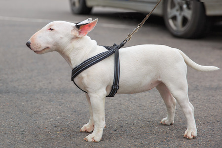 Domestic dog Miniature Bull Terrier breed. Focus on the dog muzzle, shallow depth of field