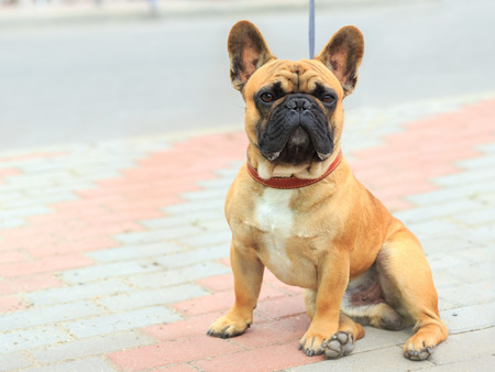 Domestic dog French Bulldog breed on leash. Focus on the dog muzzle, shallow depth of field Stock Photo