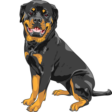 smiling dog Rottweiler breed sitting isolated on the white background Çizim