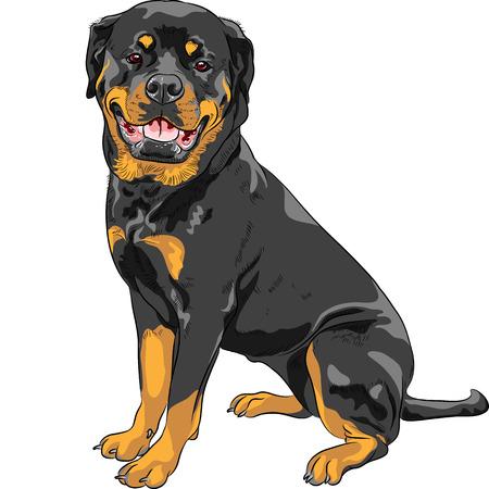 perro policia: sonriendo perro Rottweiler raza sentado aislado en el fondo blanco