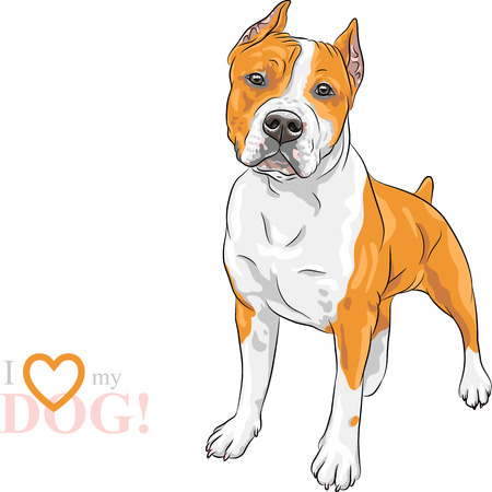 amstaff: sketch of the dog American Staffordshire Terrier breed