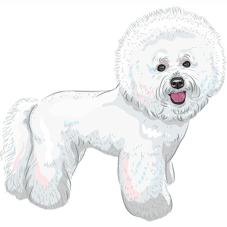 bichon: white cute dog Bichon Frise breed smiling