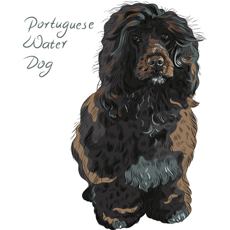 Black curly dog breed Portuguese Water Dog (Cao de Agua) Vector Illustration