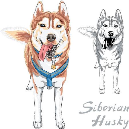 犬のシベリアン ハスキーの品種 standng と笑みを浮かべて