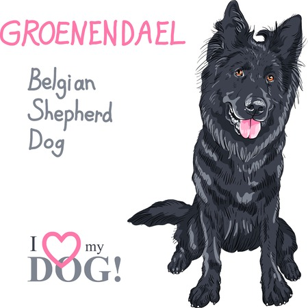 short haired: dog Belgian Shepherd Dog, Groenendael  breed
