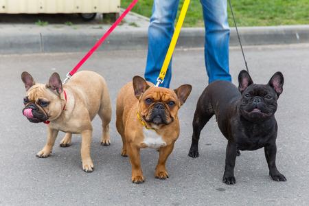 bulldog: raza Bulldog tres perros domésticos Francés