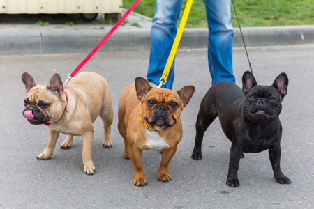 frenchie: three domestic dogs French Bulldog breed
