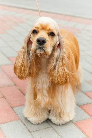 pawl: Cute sporting dog breed American Cocker Spaniel