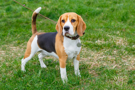 dog Beagle breed standing on the green grass