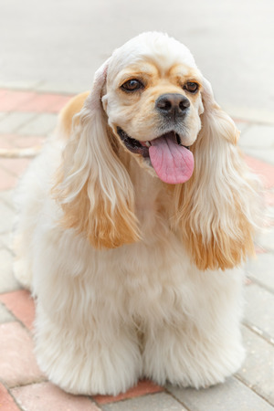pawl: Cute smiling dog breed American Cocker Spaniel
