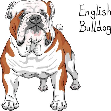 black haired: vector sketch dog English Bulldog breed