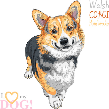 pembroke: vector sketch dog Pembroke Welsh corgi smiling
