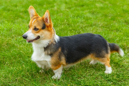 fluffy ears: dog Pembroke Welsh corgi breed standing on a green lawn Stock Photo