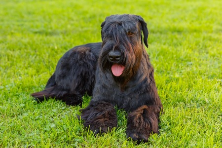 black giant: Cute Domestic dog Black Giant Schnauzer breed lying on green grass on a sunny day. Focus on the dog muzzle, shallow depth of field Stock Photo