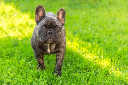 Cute Domestic dog brindle French Bulldog breed standing front view on the grass. Focus on the dog muzzle, shallow depth of field