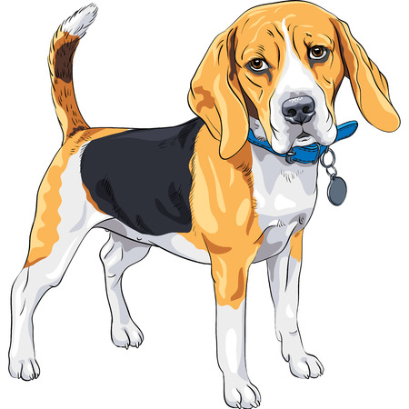blue collar: vector color sketch serious dog Beagle breed standing with blue collar Illustration