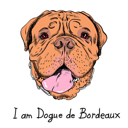 bordeauxdog: Dog French Mastiff or Dogue de Bordeaux breed Illustration
