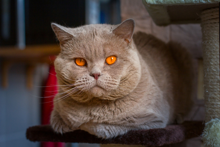 moggy: Close-up portrait British Shorthair lilac cat with orange eyes lies on a shelf. Shallow depth of field Stock Photo