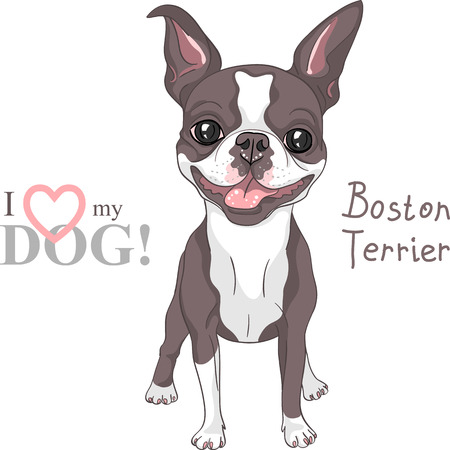 boston terrier: Smiling dog Boston Terrier breed standing