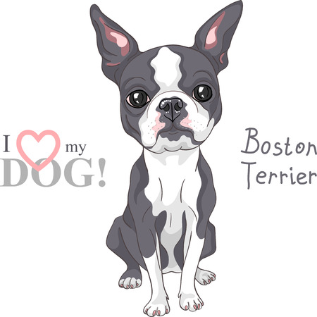 Serious dog Boston Terrier breed sitting