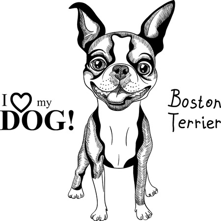 boston terrier: black and white Smiling dog Boston Terrier breed standing Illustration