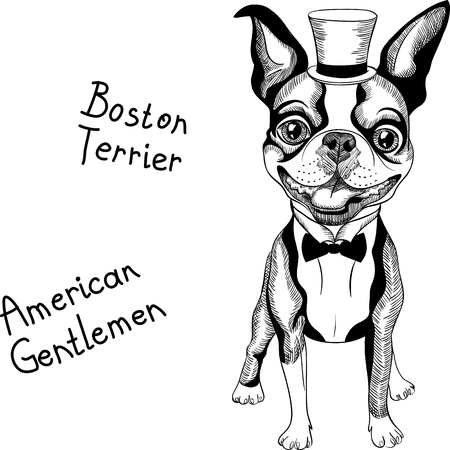 boston terrier: Hipster dog Boston Terrier in top hat and bow tie