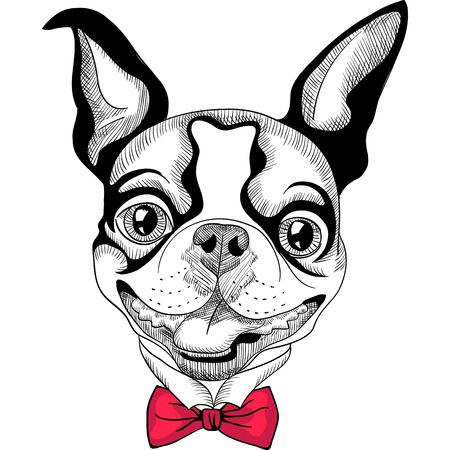 funny boston terrier: Hipster dog Boston Terrier in red bow tie smiling