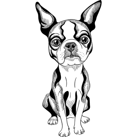 boston terrier: Vector black and white Serious dog Boston Terrier breed sitting Illustration